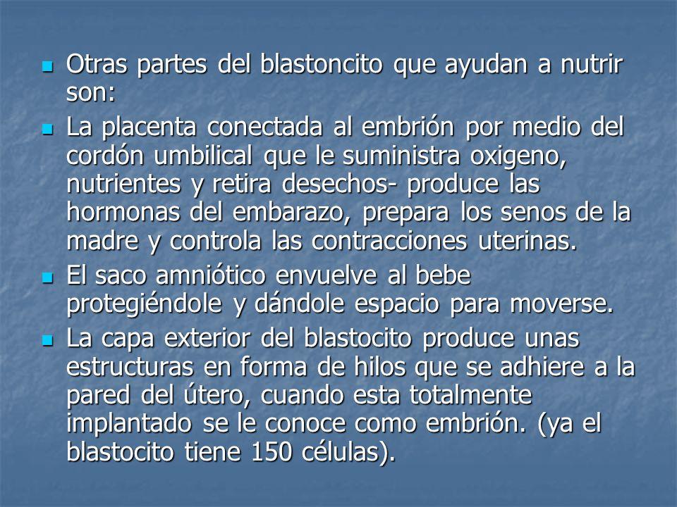 Otras partes del blastoncito que ayudan a nutrir son: