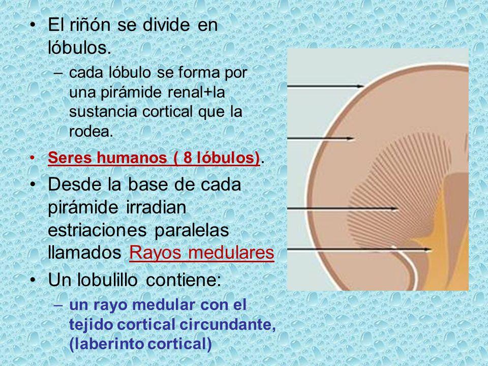 El riñón se divide en lóbulos.
