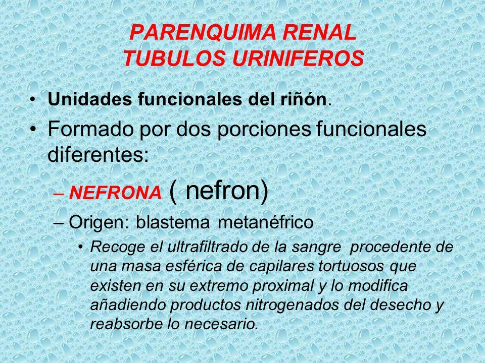 PARENQUIMA RENAL TUBULOS URINIFEROS
