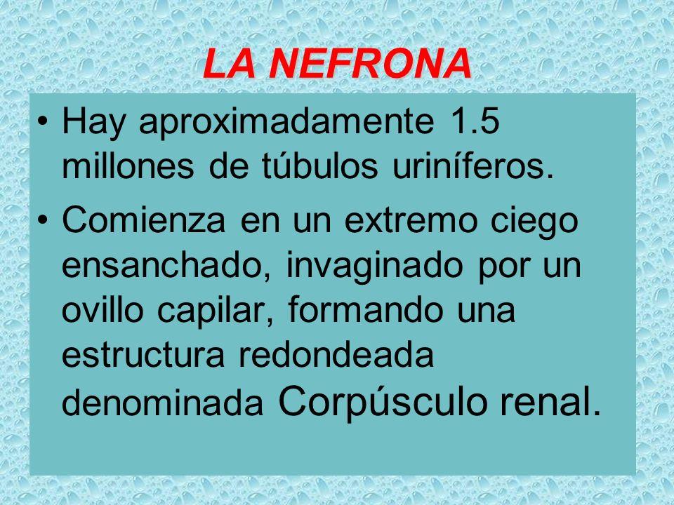 LA NEFRONA Hay aproximadamente 1.5 millones de túbulos uriníferos.