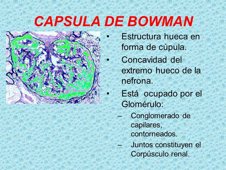 CAPSULA DE BOWMAN Estructura hueca en forma de cúpula.