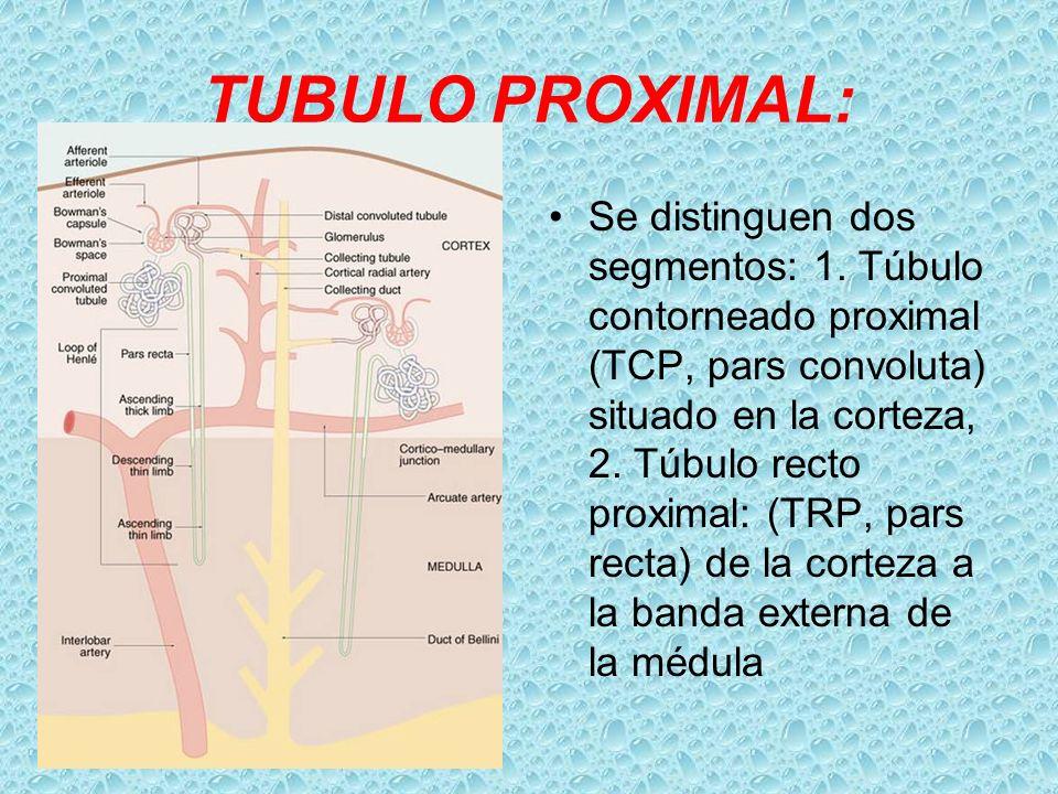 TUBULO PROXIMAL: