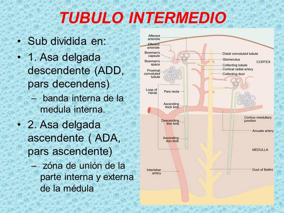 TUBULO INTERMEDIO Sub dividida en: