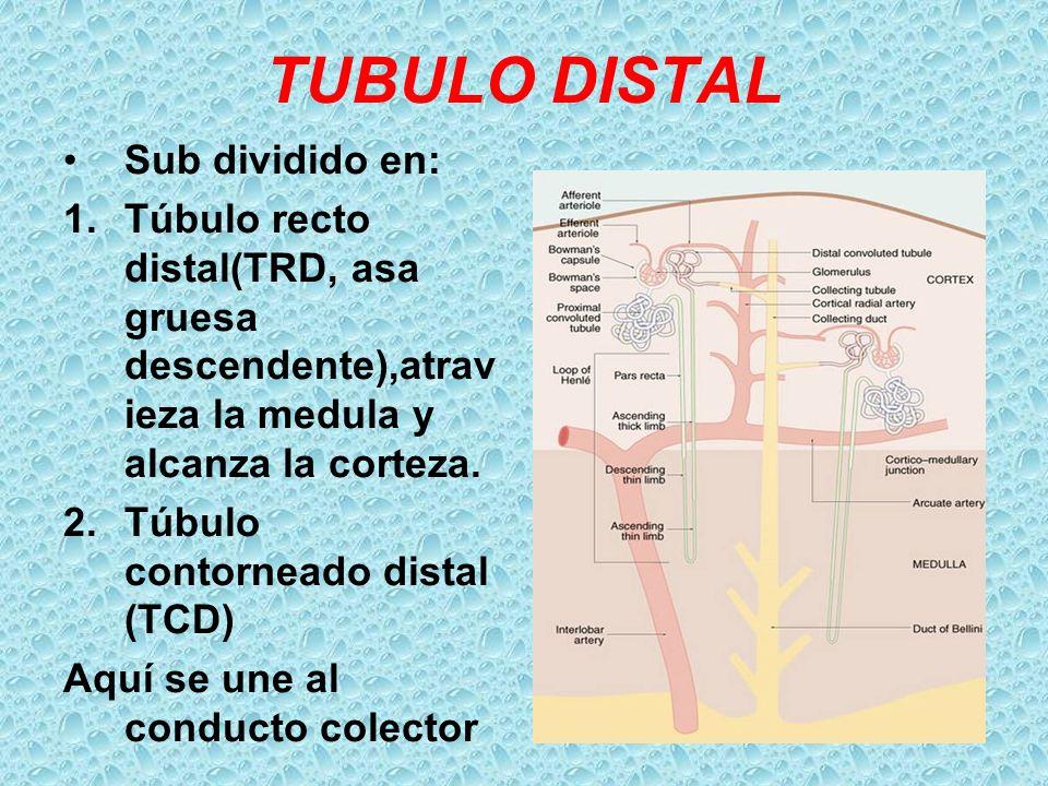 TUBULO DISTAL Sub dividido en: