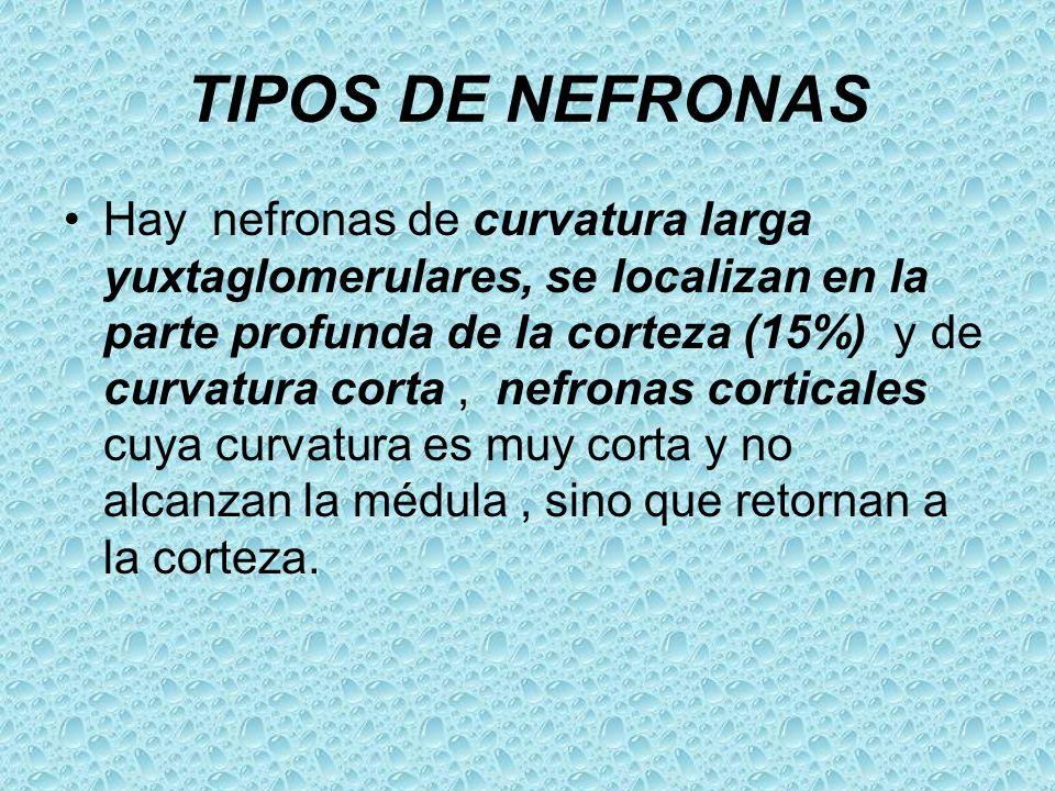 TIPOS DE NEFRONAS