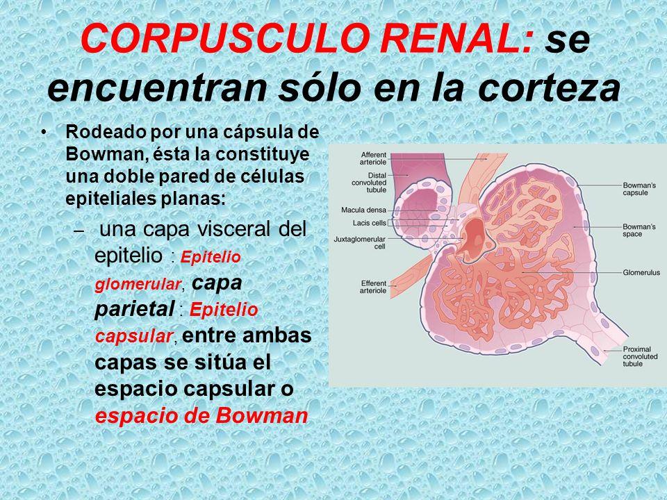 CORPUSCULO RENAL: se encuentran sólo en la corteza