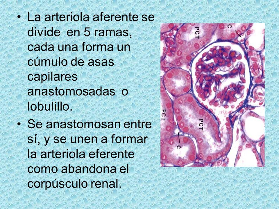 La arteriola aferente se divide en 5 ramas, cada una forma un cúmulo de asas capilares anastomosadas o lobulillo.