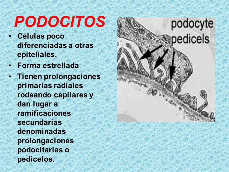 PODOCITOS Células poco diferenciadas a otras epiteliales.