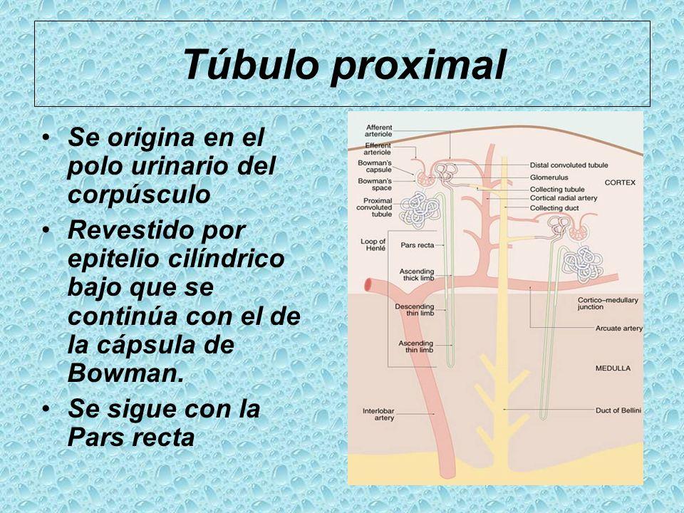 Túbulo proximal Se origina en el polo urinario del corpúsculo