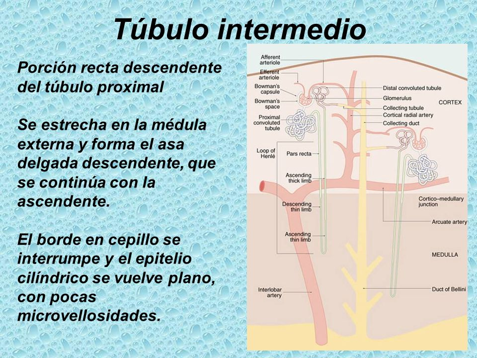 Túbulo intermedio Porción recta descendente del túbulo proximal
