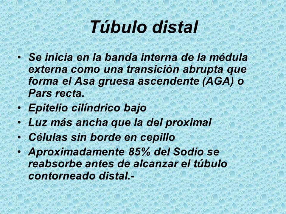 Túbulo distal Se inicia en la banda interna de la médula externa como una transición abrupta que forma el Asa gruesa ascendente (AGA) o Pars recta.