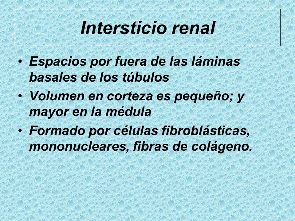 Intersticio renal Espacios por fuera de las láminas basales de los túbulos. Volumen en corteza es pequeño; y mayor en la médula.