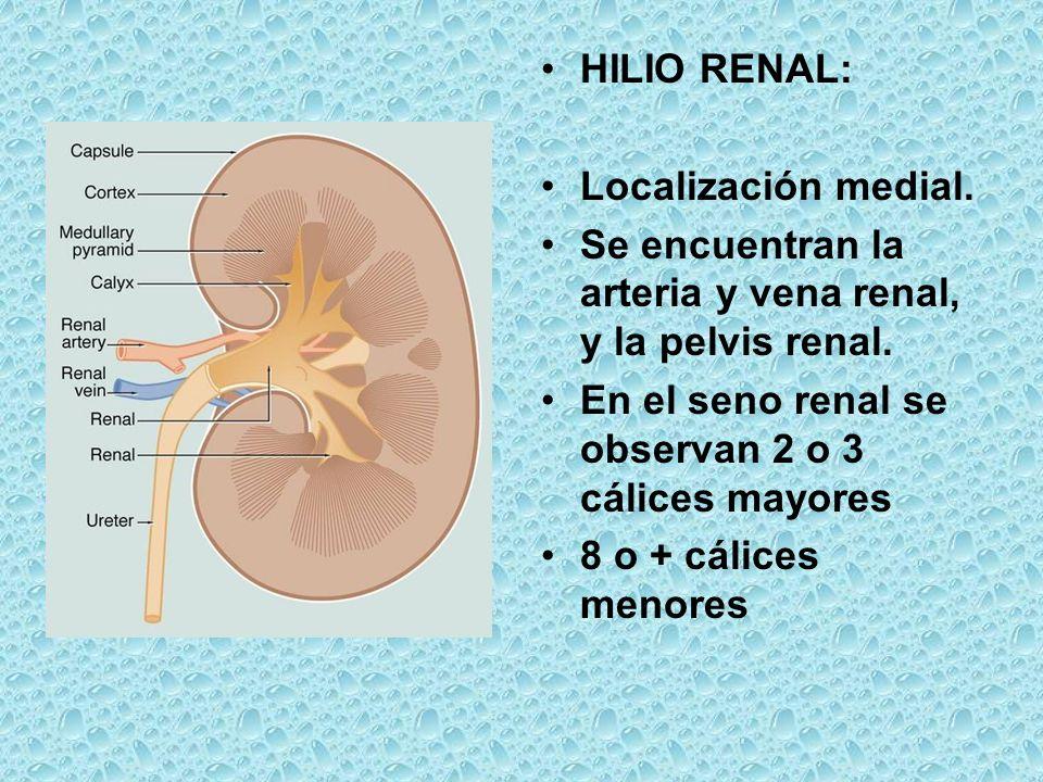 HILIO RENAL: Localización medial. Se encuentran la arteria y vena renal, y la pelvis renal. En el seno renal se observan 2 o 3 cálices mayores.