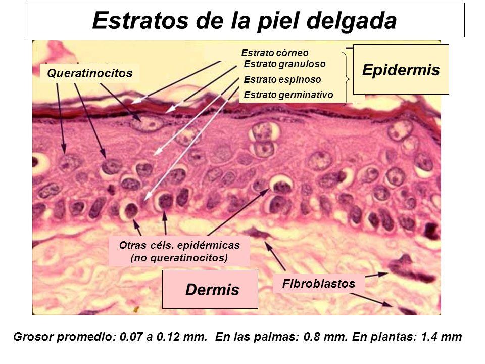 Estratos de la piel delgada
