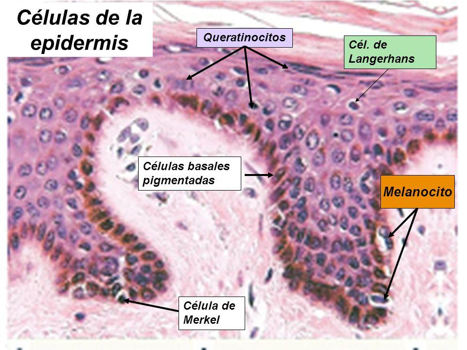 Células de la epidermis