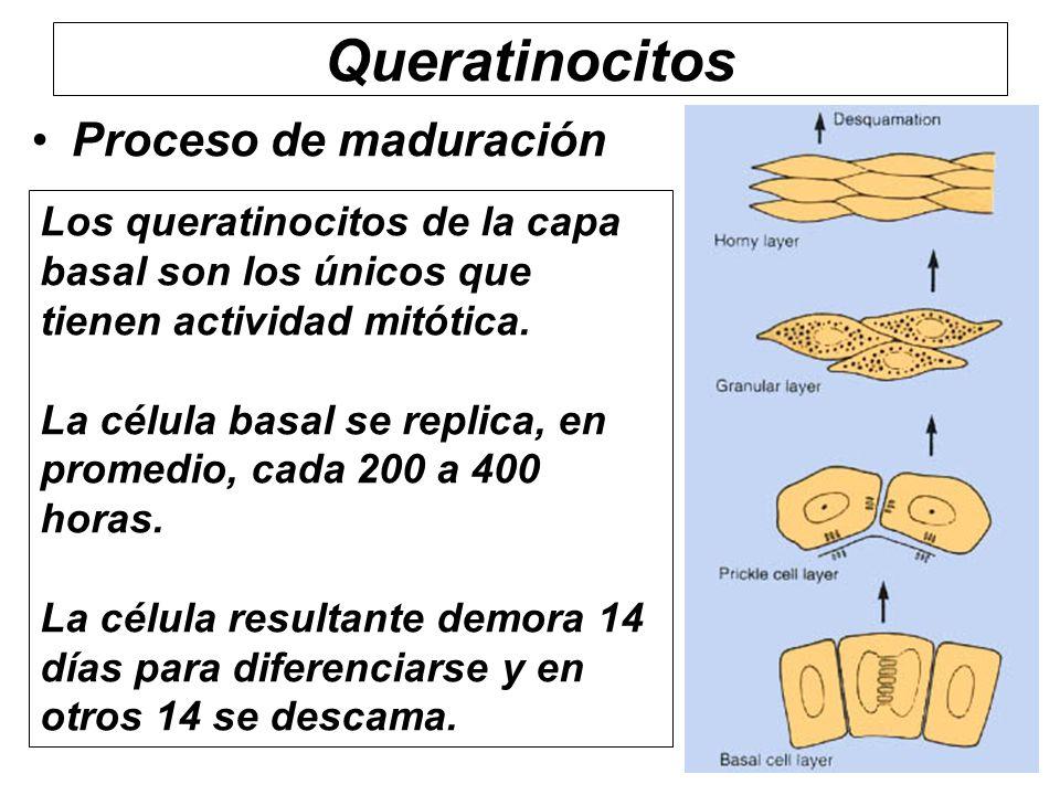 Queratinocitos Proceso de maduración