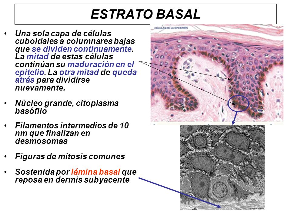 ESTRATO BASAL