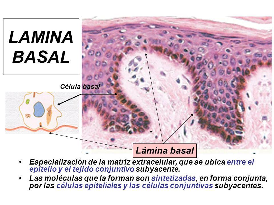 LAMINA BASAL Lámina basal
