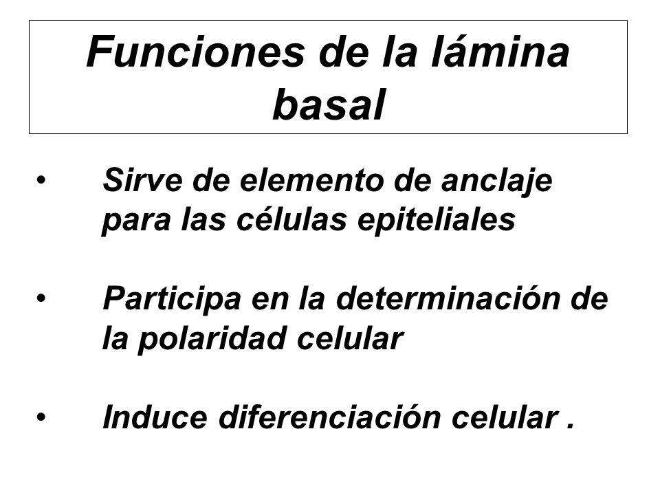 Funciones de la lámina basal