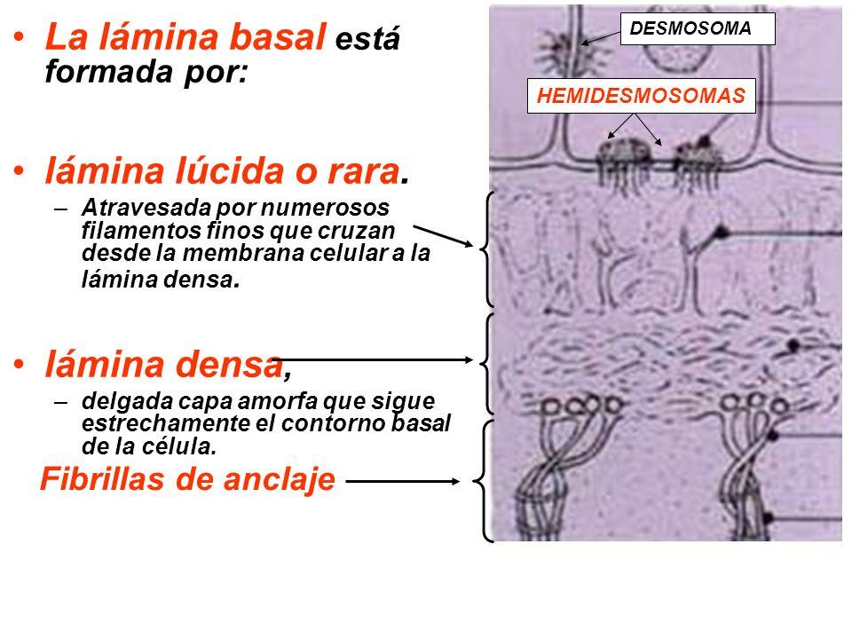 La lámina basal está formada por: