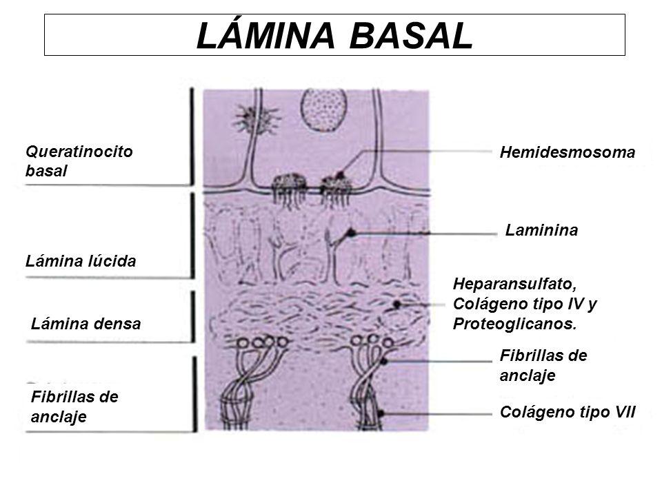 LÁMINA BASAL Queratinocito basal Hemidesmosoma Laminina Lámina lúcida