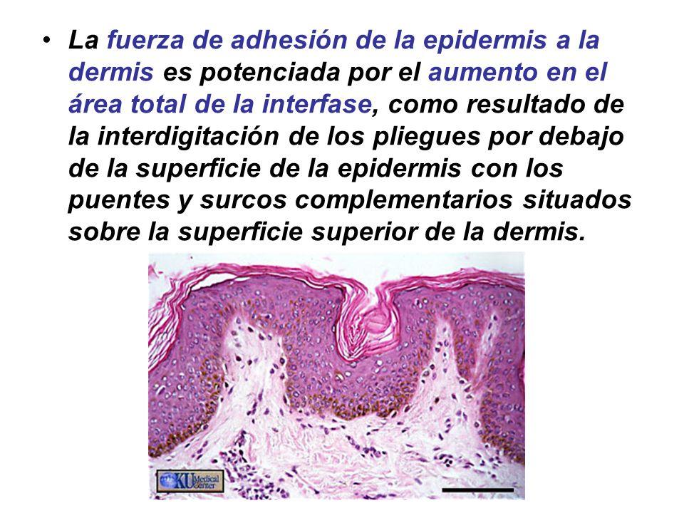 La fuerza de adhesión de la epidermis a la dermis es potenciada por el aumento en el área total de la interfase, como resultado de la interdigitación de los pliegues por debajo de la superficie de la epidermis con los puentes y surcos complementarios situados sobre la superficie superior de la dermis.