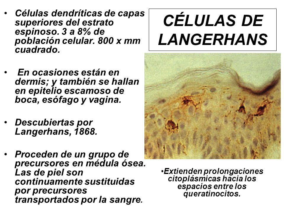 Células dendríticas de capas superiores del estrato espinoso