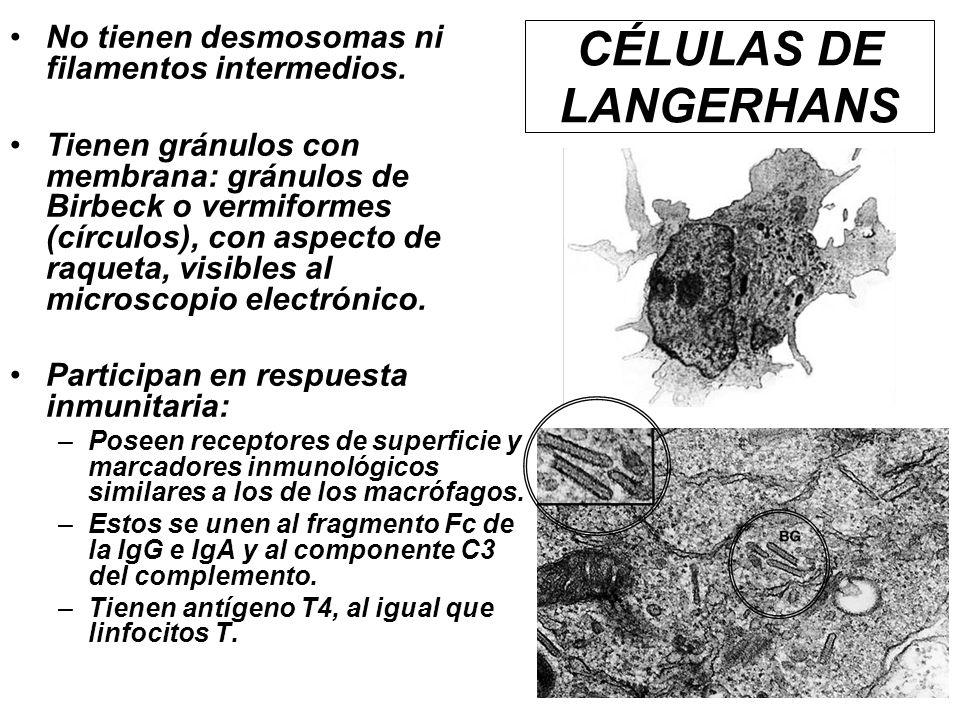 CÉLULAS DE LANGERHANS No tienen desmosomas ni filamentos intermedios.
