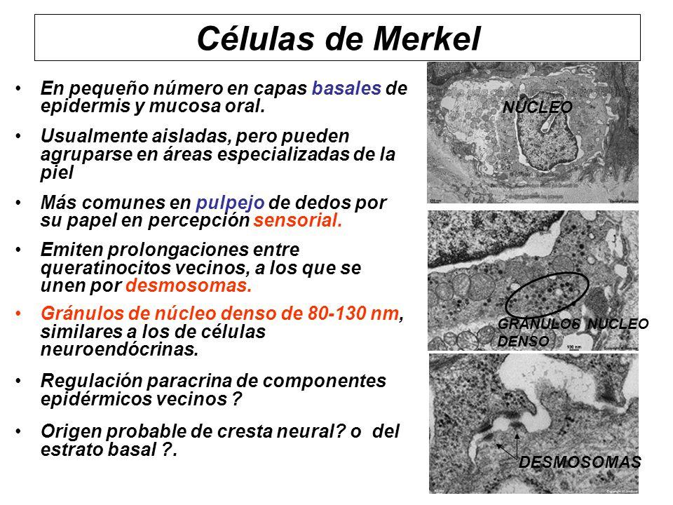 Células de Merkel En pequeño número en capas basales de epidermis y mucosa oral.