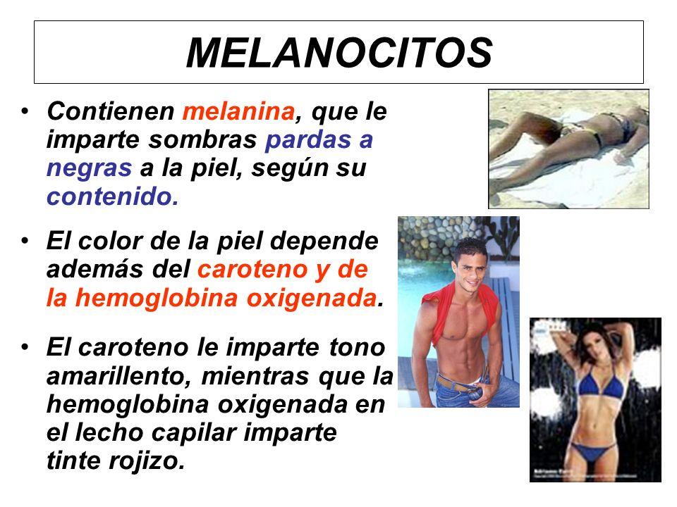 MELANOCITOS Contienen melanina, que le imparte sombras pardas a negras a la piel, según su contenido.