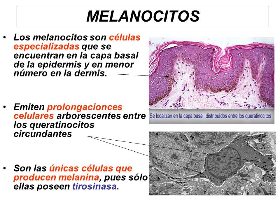 MELANOCITOS Los melanocitos son células especializadas que se encuentran en la capa basal de la epidermis y en menor número en la dermis.