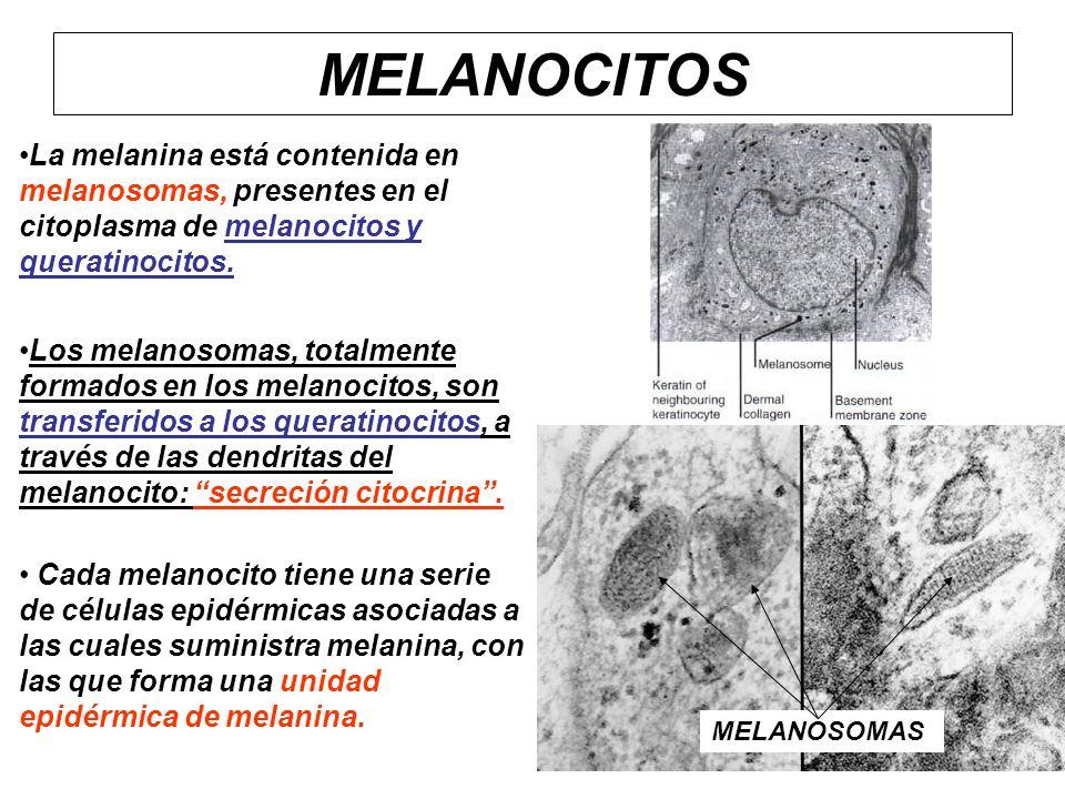 MELANOCITOS La melanina está contenida en melanosomas, presentes en el citoplasma de melanocitos y queratinocitos.