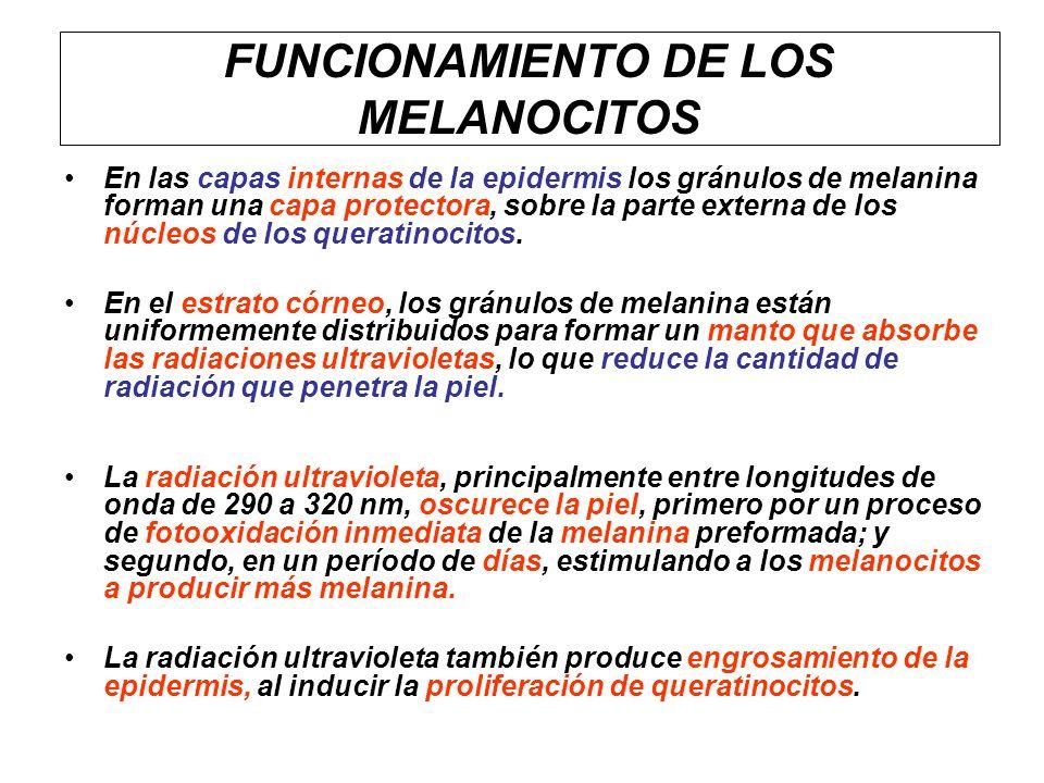 FUNCIONAMIENTO DE LOS MELANOCITOS
