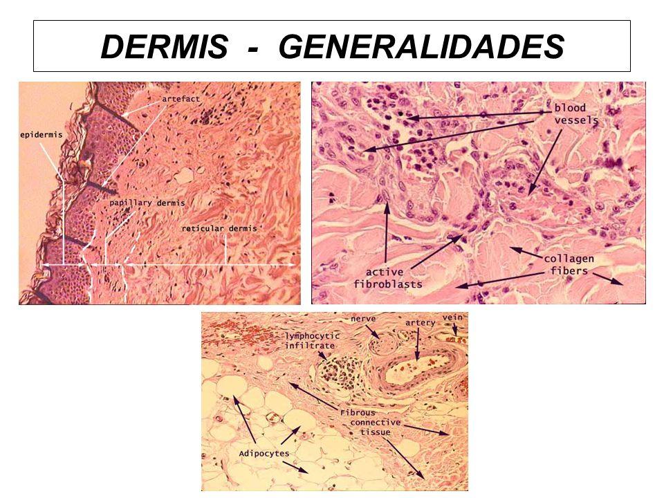 DERMIS - GENERALIDADES
