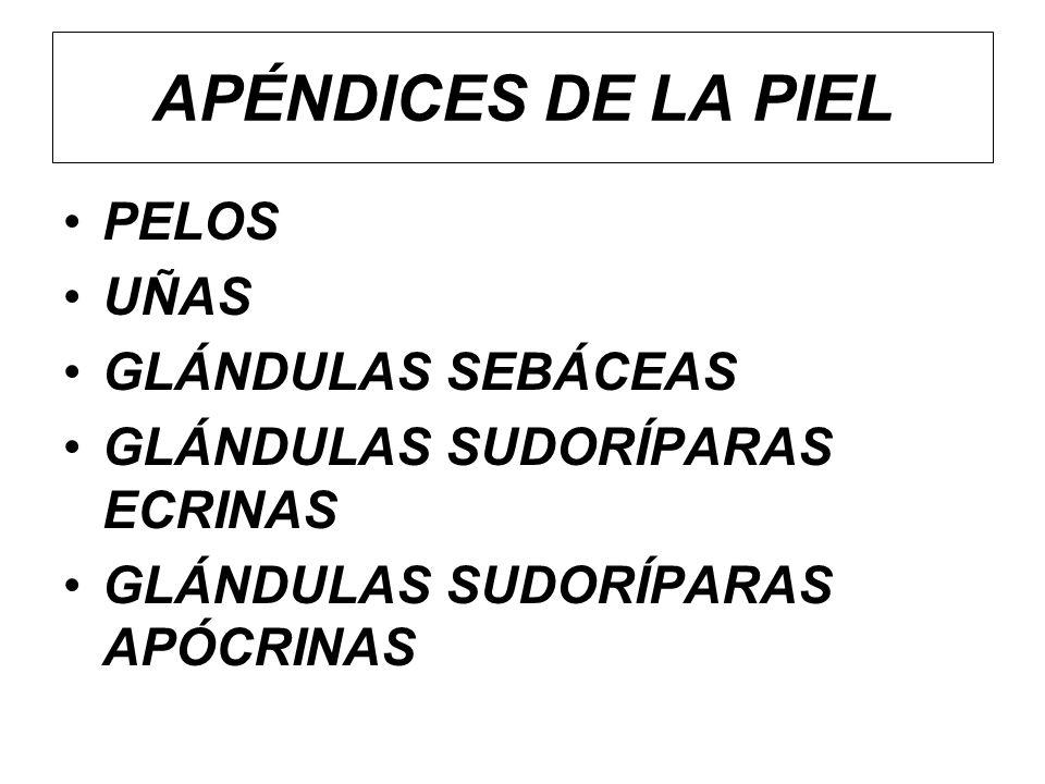 APÉNDICES DE LA PIEL PELOS UÑAS GLÁNDULAS SEBÁCEAS