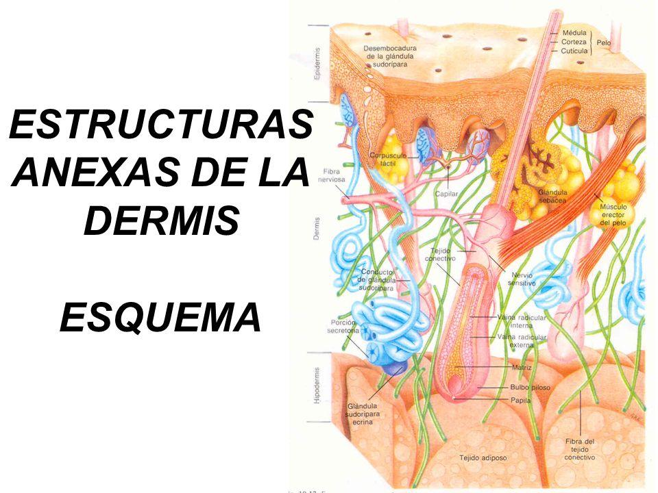 ESTRUCTURAS ANEXAS DE LA DERMIS