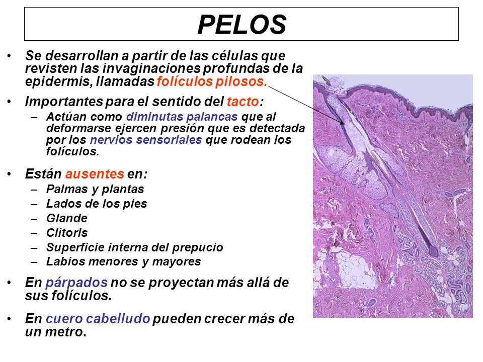 PELOS Se desarrollan a partir de las células que revisten las invaginaciones profundas de la epidermis, llamadas folículos pilosos.