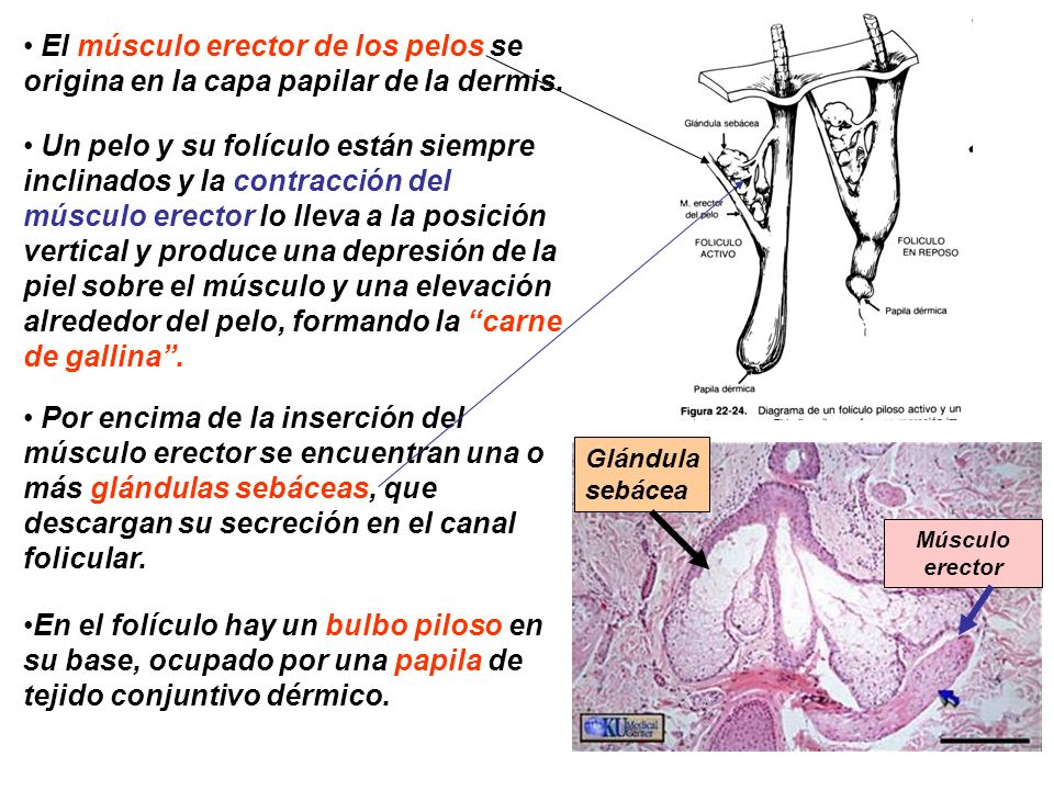 El músculo erector de los pelos se origina en la capa papilar de la dermis.