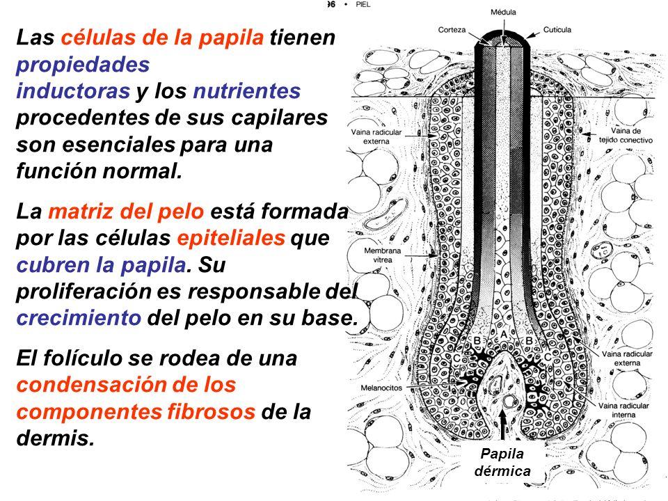 Las células de la papila tienen propiedades