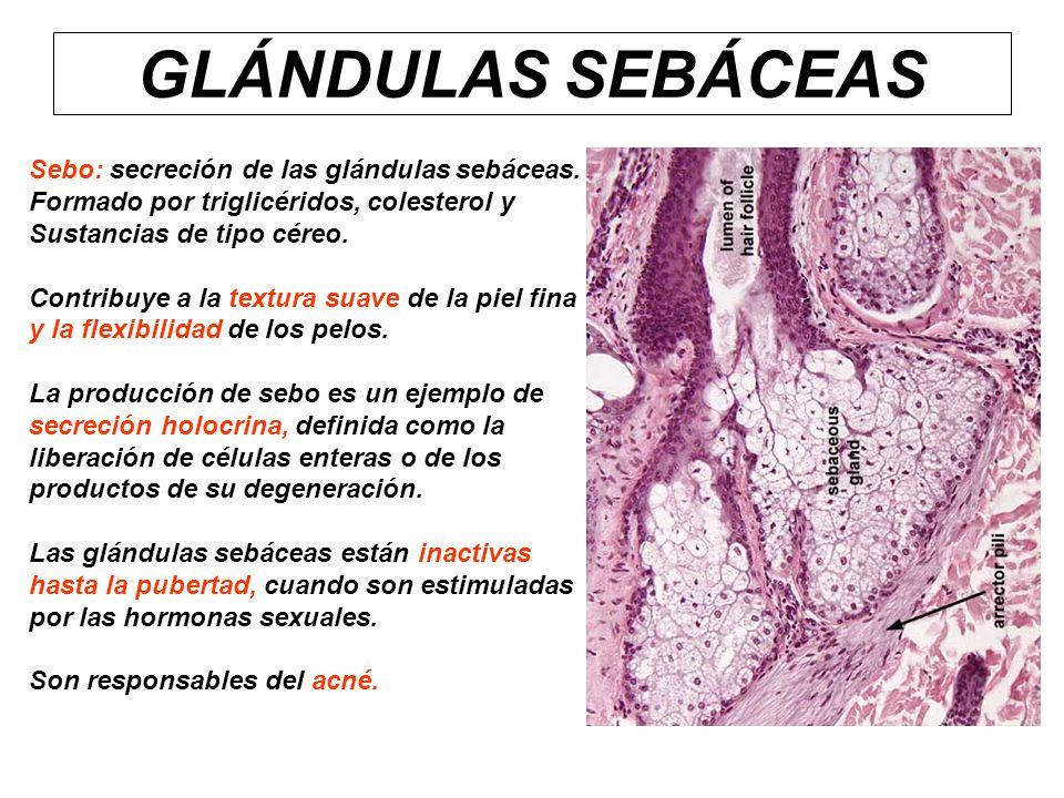 GLÁNDULAS SEBÁCEAS Sebo: secreción de las glándulas sebáceas.