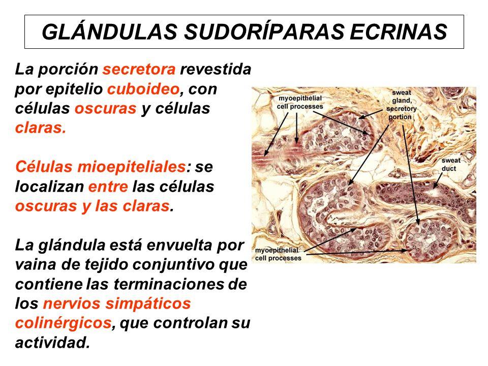 GLÁNDULAS SUDORÍPARAS ECRINAS