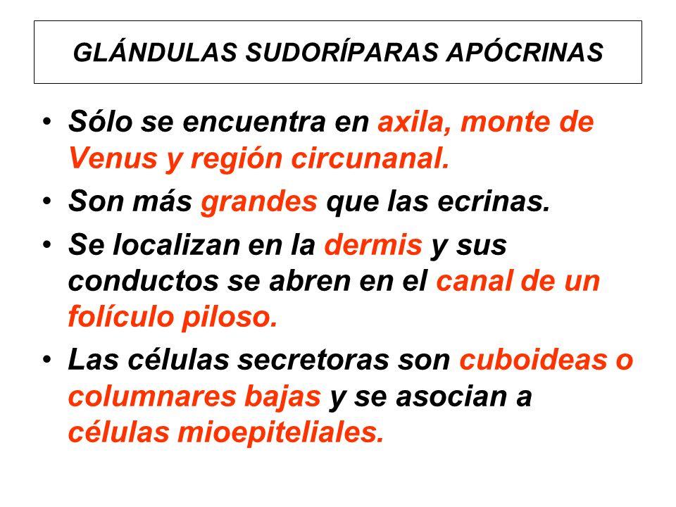 GLÁNDULAS SUDORÍPARAS APÓCRINAS