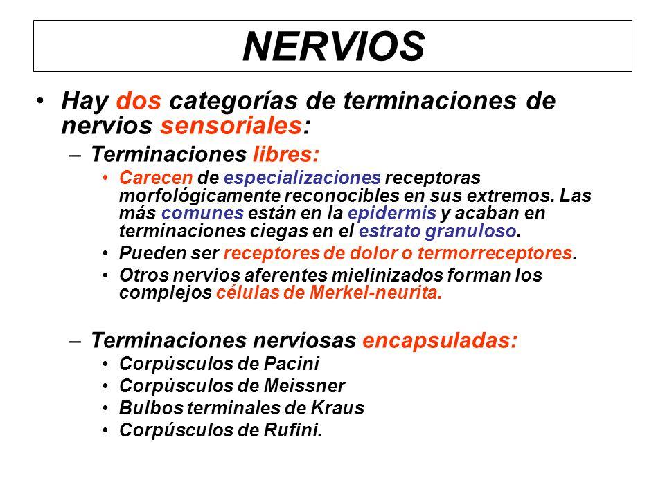 NERVIOS Hay dos categorías de terminaciones de nervios sensoriales: