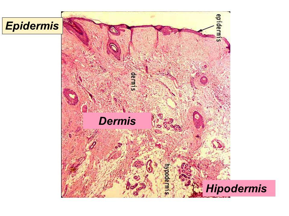Epidermis Dermis Hipodermis