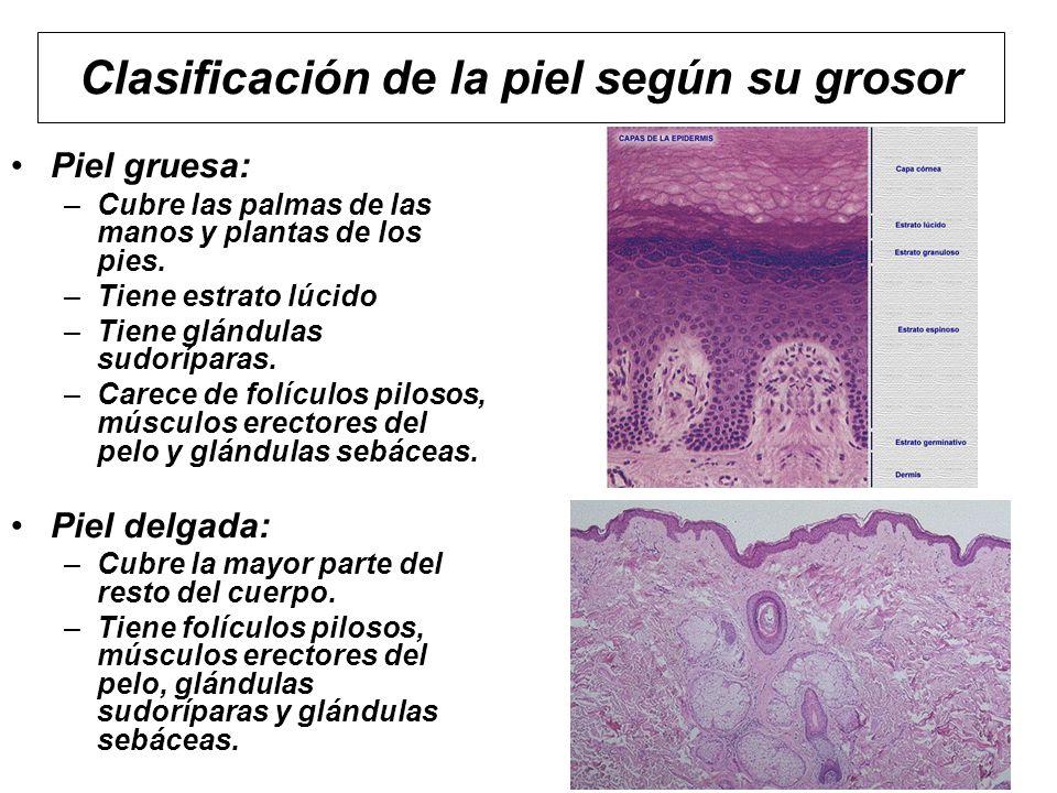 Clasificación de la piel según su grosor