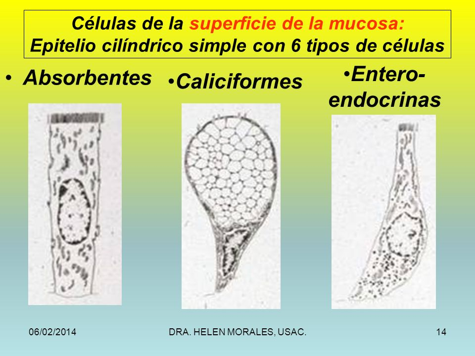 Entero- Absorbentes Caliciformes endocrinas