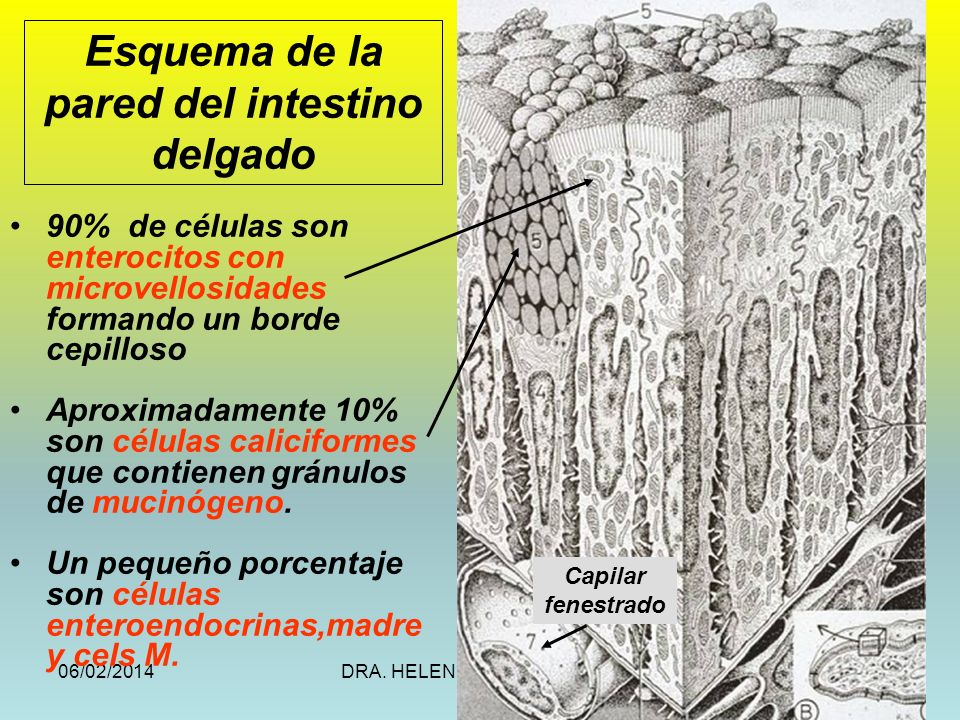 Esquema de la pared del intestino delgado