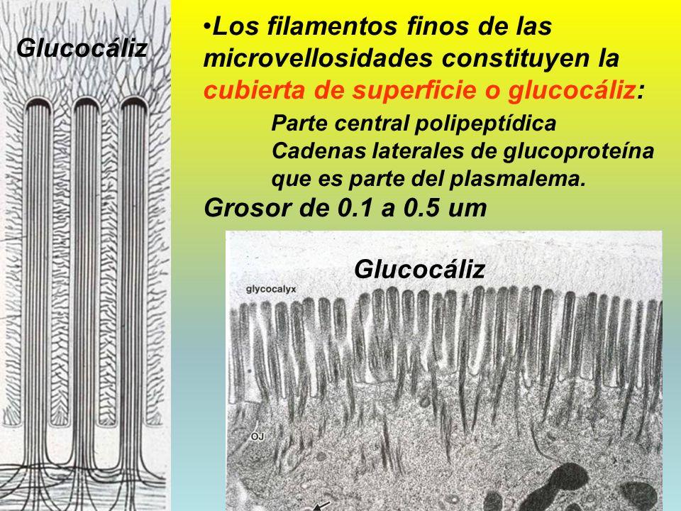 Los filamentos finos de las microvellosidades constituyen la cubierta de superficie o glucocáliz: Parte central polipeptídica Cadenas laterales de glucoproteína que es parte del plasmalema. Grosor de 0.1 a 0.5 um
