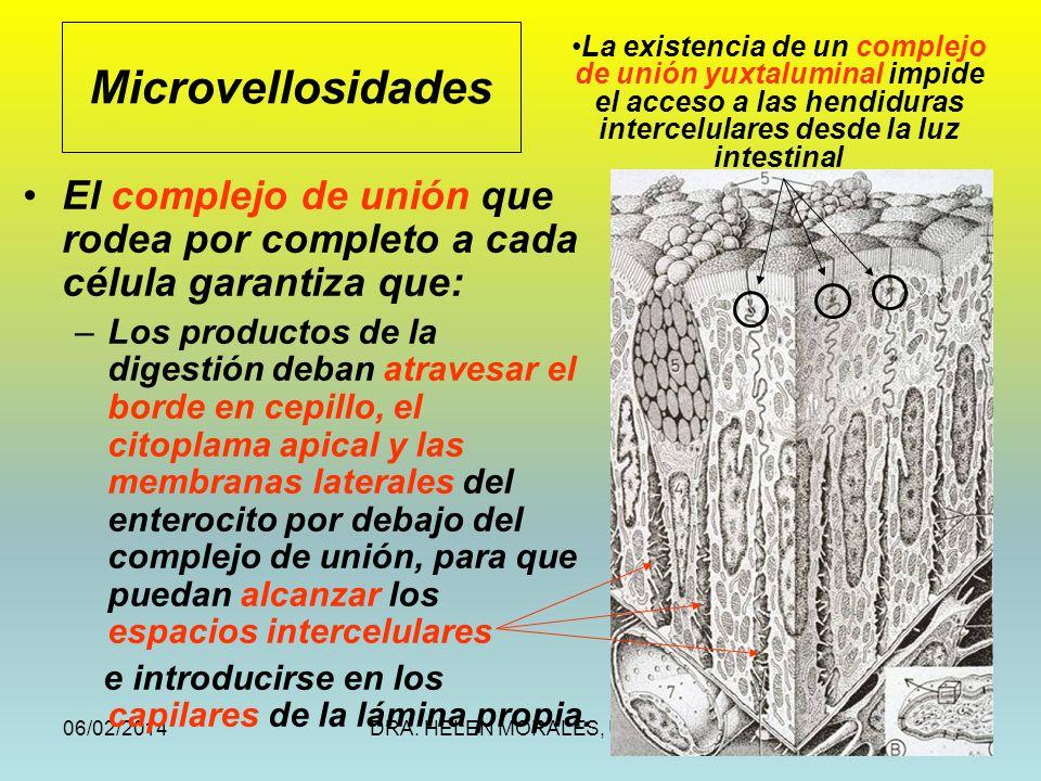 Microvellosidades La existencia de un complejo de unión yuxtaluminal impide el acceso a las hendiduras intercelulares desde la luz intestinal.