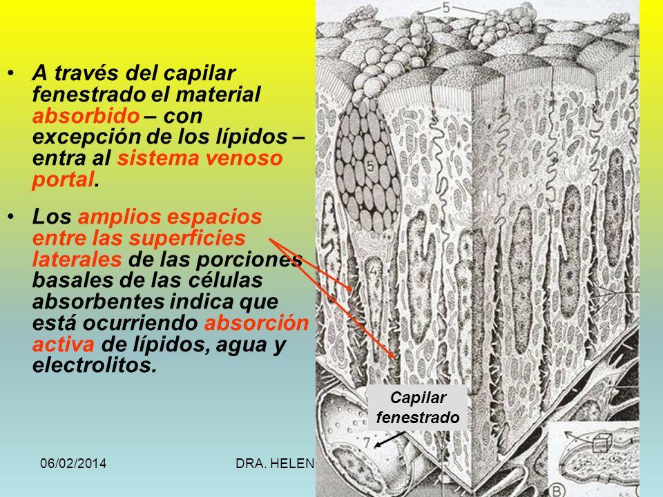 A través del capilar fenestrado el material absorbido – con excepción de los lípidos – entra al sistema venoso portal.